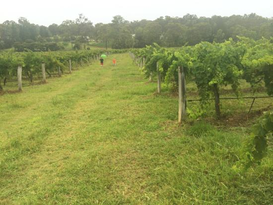 McCaffrey's Estate: Vineyard