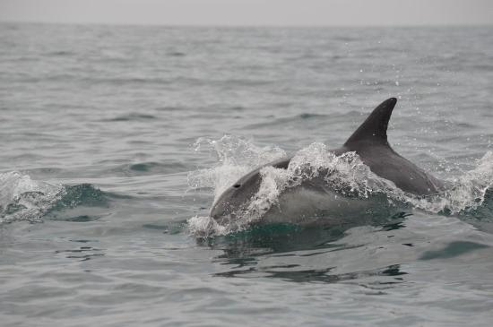 Alan Tours: Dolphin at Speed off St Croix