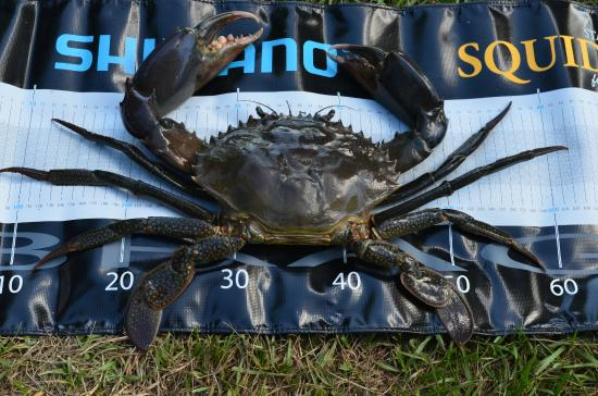 Top End, Australie : Giant Mud Crabs