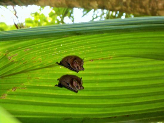 Puerto Jimenez, كوستاريكا: Bats' house