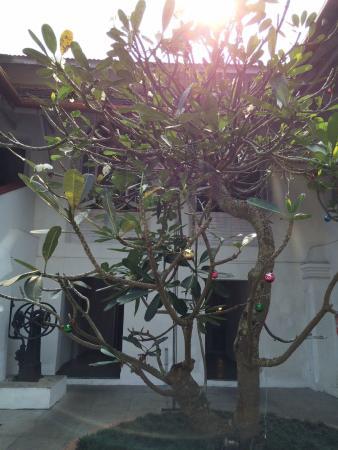 Neemrana's Tower House : The Frangipani tree between the pool and the restaurant