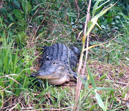 Airboats & Alligators: Within 3 minutes saw this guy.