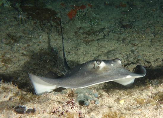 Bimini: Southern Stingray
