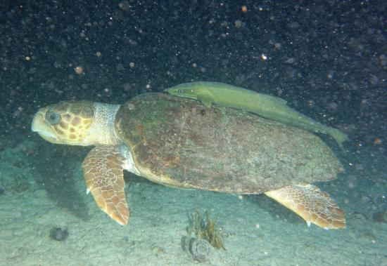 Bimini: Biggest turtle we've ever seen (loggerhead)!