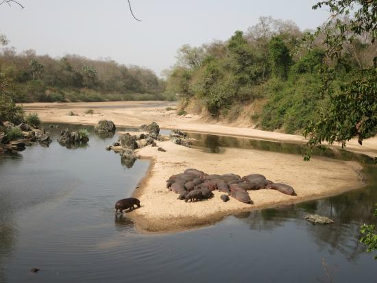Ngaoundere, Kamerun: Herd of hippo's in the river