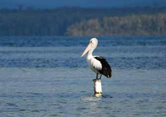 Paradise Beach Apartments: Pelicans