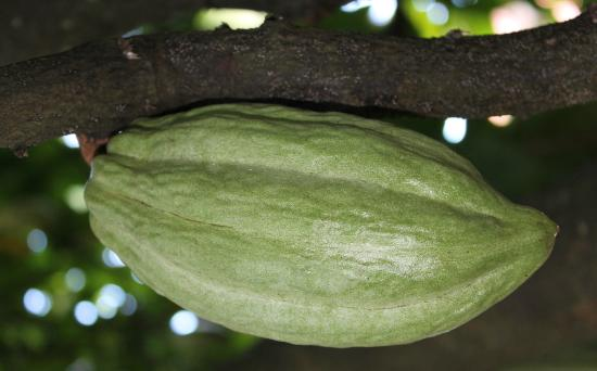 La Maison du Cacao : Grüne Kakaofrucht