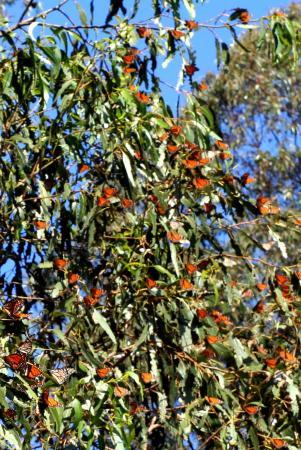 Monarch Butterfly Grove : butterflies