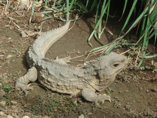 Southland Museum and Art Gallery: Henry, the tuatara, a living fossil
