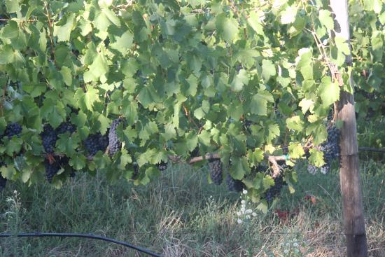 Allegria Guesthouse : vines near the grounds