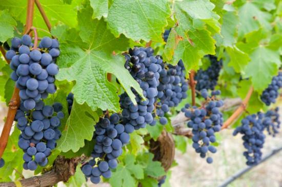 Stellenbosch, Sudáfrica: Grapes