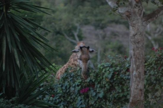 Nyati Hill Cottages: The giraffe eating our hedge :-)
