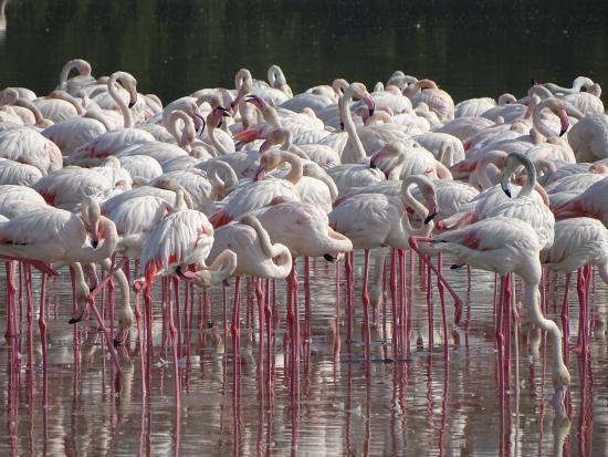 Ras Al Khor Wildlife Sanctuary: The beautiful flamingos in the wild