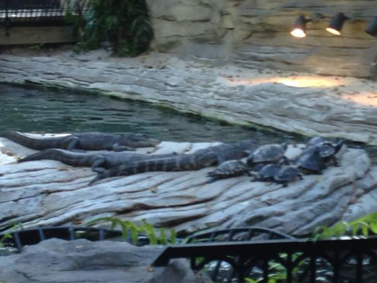 Gaylord Palms Resort & Convention Center : Gator Springs inside the Hotel