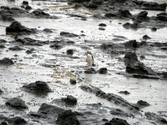 Southland Region, Nouvelle-Zélande : El pingüino de ojos amarillos y el bosque petrificado