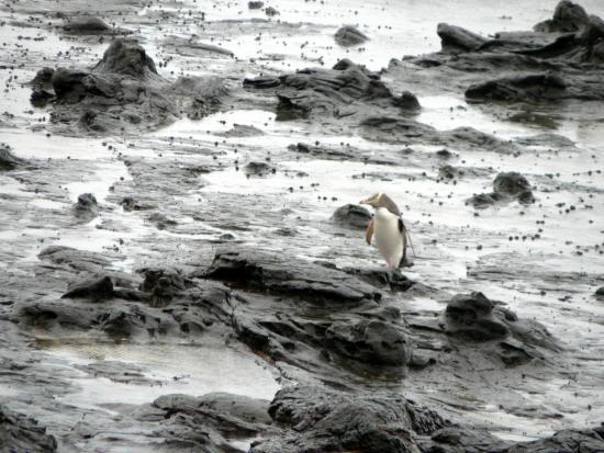Southland Region, Nouvelle-Zélande : Vuelve del  mar el pingüino.