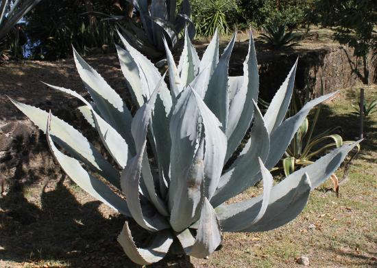 aloe vera im botanischen garten foto de fort napoleon guadalupe tripadvisor. Black Bedroom Furniture Sets. Home Design Ideas