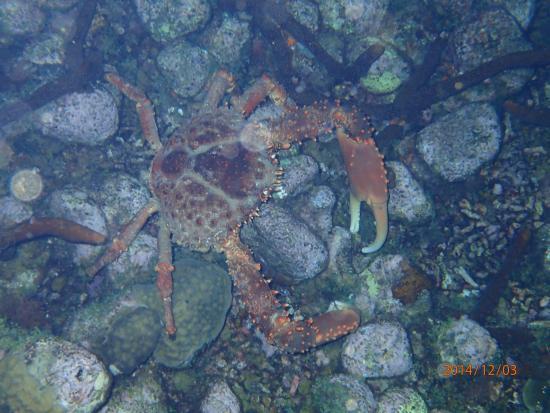 Nature Island Dive Resort: Giant crab during night dive