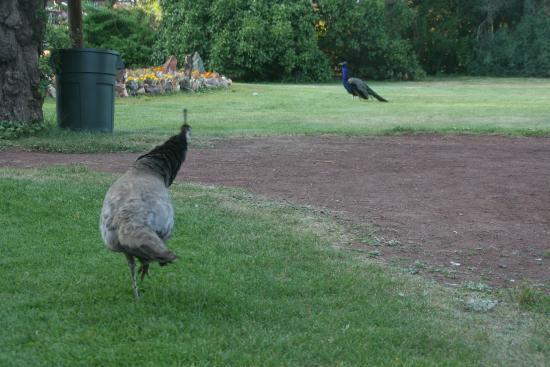 Petersen Rock Garden and Museum: Peafowl abound at Petersen's