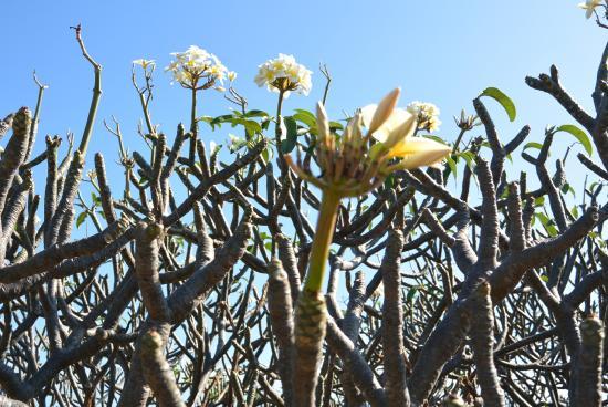 Molokai Plumeria