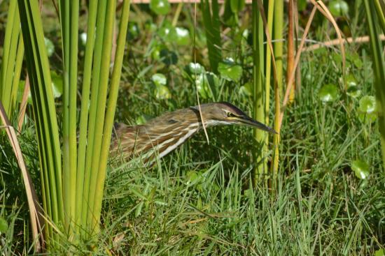 Ritch Grissom Memorial Wetlands : American Bitten