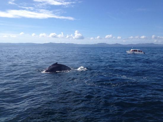 Whale Samana: Por esto las llaman Jorobadas