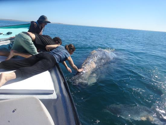rubing a massive friendly whale picture of magdalena bay