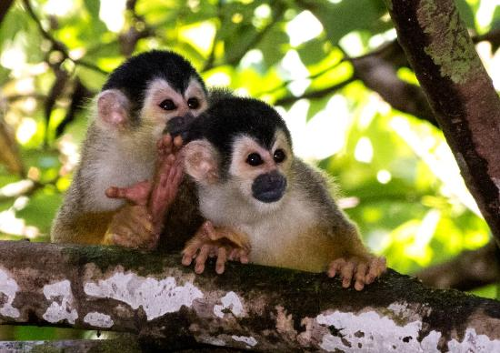 Tiskita Jungle Lodge: squirrel monkeys
