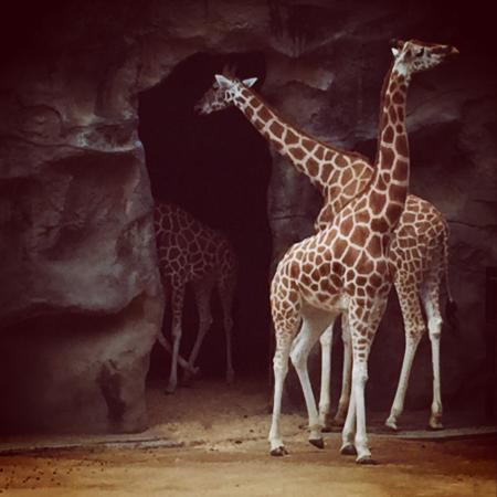 Taronga Zoo: Wonderful giraffs amezing