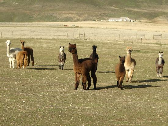 Tehachapi, CA: Adorable Alpacas pronking.