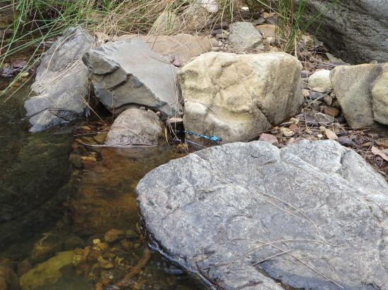 Bungonia State Conservation Area: Damselfly along Yellow Track Walk