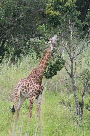 Rain Farm Game and Lodge: Beautiful Baby Giraffe