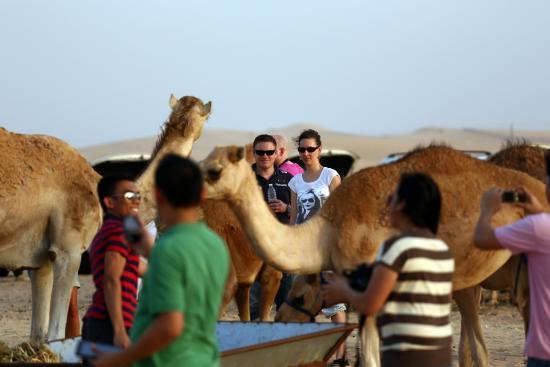 Emirates Tours and Safaris : Camel Farm