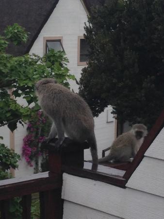 Crawford's Beach Lodge : Grey monkeys
