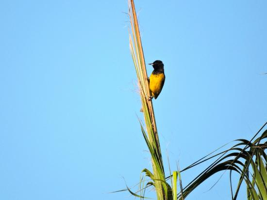 One of several oriole species on the property