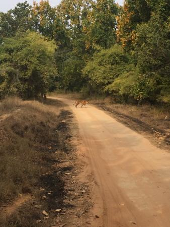 Bandhavgarh National Park, India: Probably 50m from the tiger