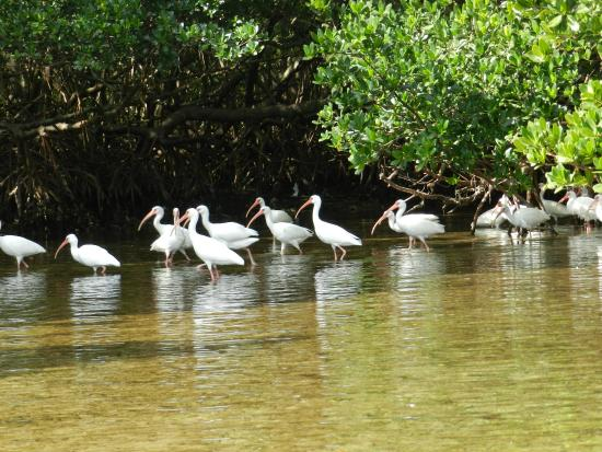 Sea Life Kayak Adventures: Ibis at the entrance to the tunnels in the Mangrove