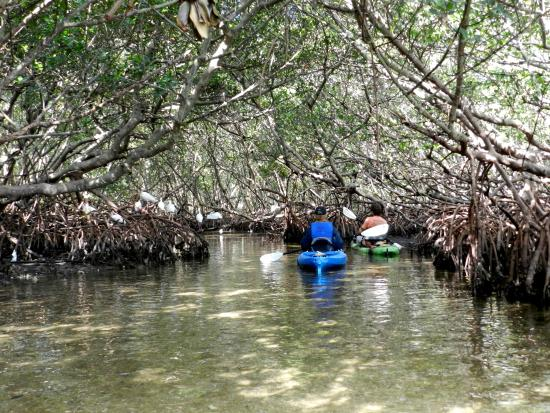 Sea Life Kayak Adventures: In the mangrove tunnel with Ibis!