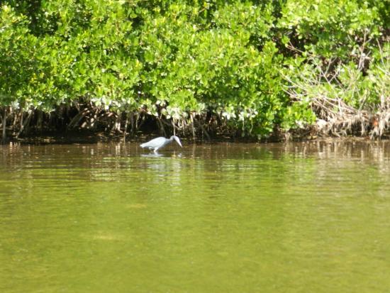 Sea Life Kayak Adventures: a little blue heron