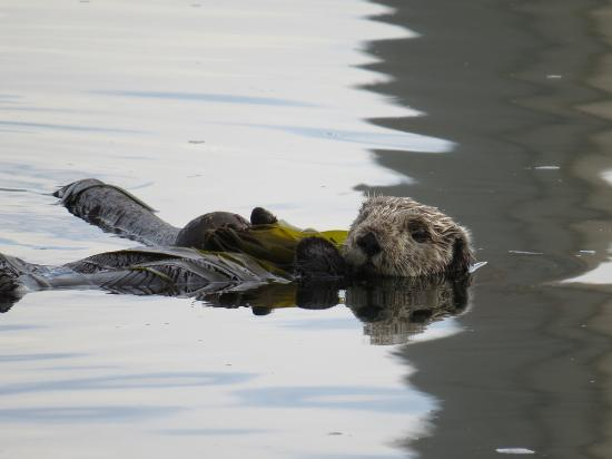 An otter in Morro Bay