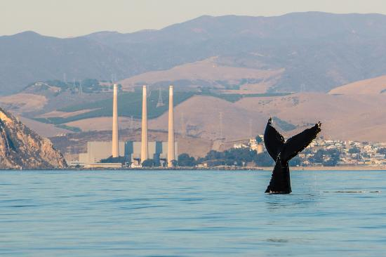 Whale breaching in Morro Bay