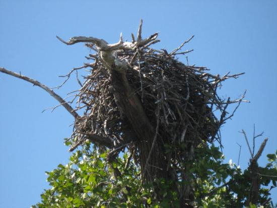 Everglades National Park Boat Tours: Eagle's nest in the mangroves