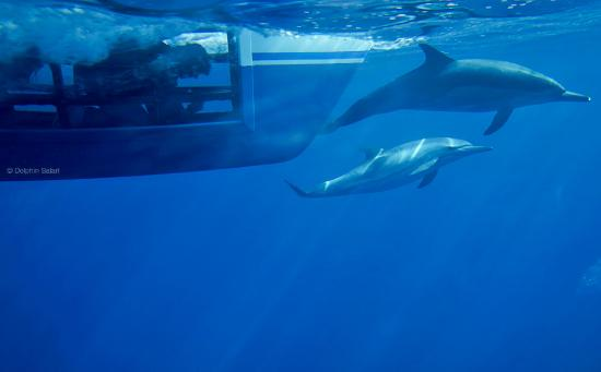 Dana Point, Kalifornia: Common Dolphin from our Underwater Viewing Pods aboard Manute'a