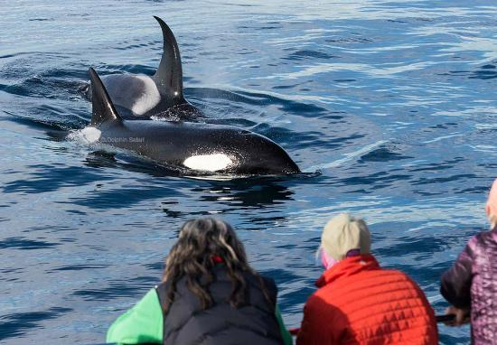 Dana Point, Καλιφόρνια: Whale watchers get up close with a pod of Orca