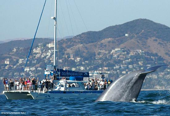 Dana Point, Californien: Our catamaran Manute'a and a Blue Whale