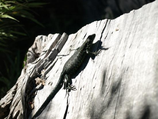 Los Rios Region, Cile: Largartija y parece que estaba esperando lagartijitas,,,