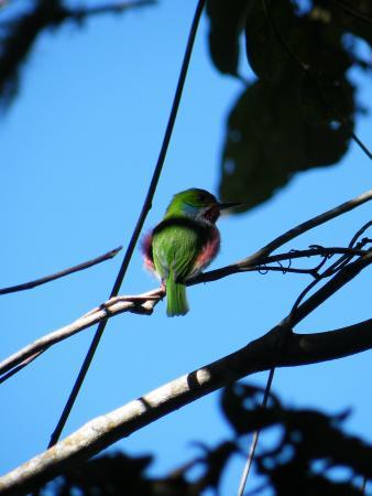 Sierra Maestra: Inheemse vogel/Native bird