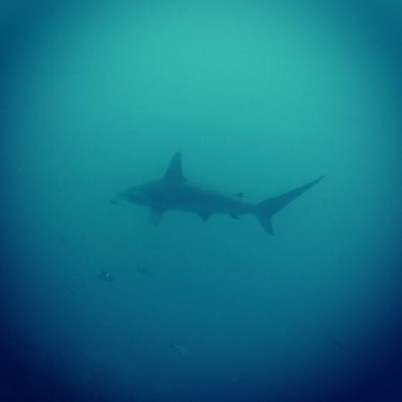 Eagleray Tours: Hammerhead shark