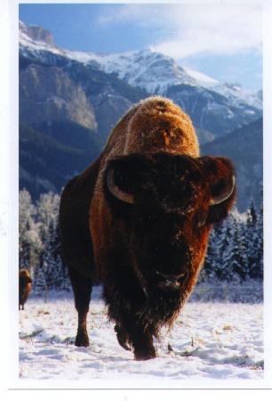 Rocky Mountain Buffalo Ranch & Guest Cottage Buffalo Tours: Chester Sr. in snow