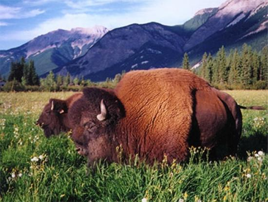 Rocky Mountain Buffalo Ranch & Guest Cottage Buffalo Tours: My friend, the late Chester Sr.